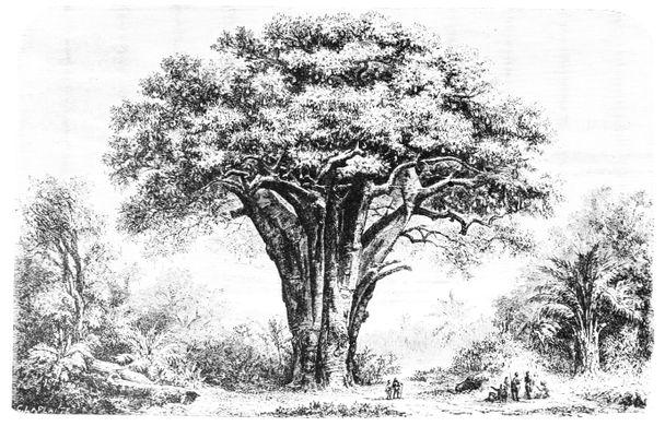 https_upload.wikimedia.orgwikipediacommons66aPSM_V03_D345_Baobab_tree